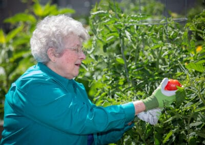 Resident picking a beautiful tomato from the garden.